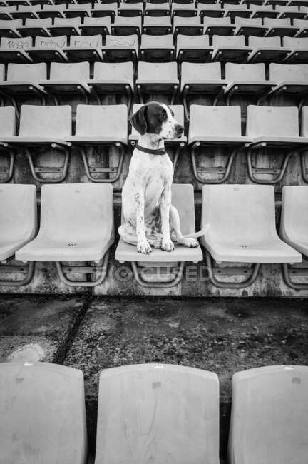 From below of sad Terrier with collar sitting on chair in stadium looking away — Stock Photo
