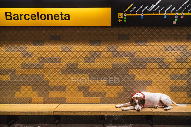 From above of sad Jack Russell Terrier lying on paws in metro looking at camera — Stock Photo