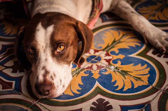 Unhappy Jack Russell Terrier with lying on colorful tiles floor looking at camera — Stock Photo