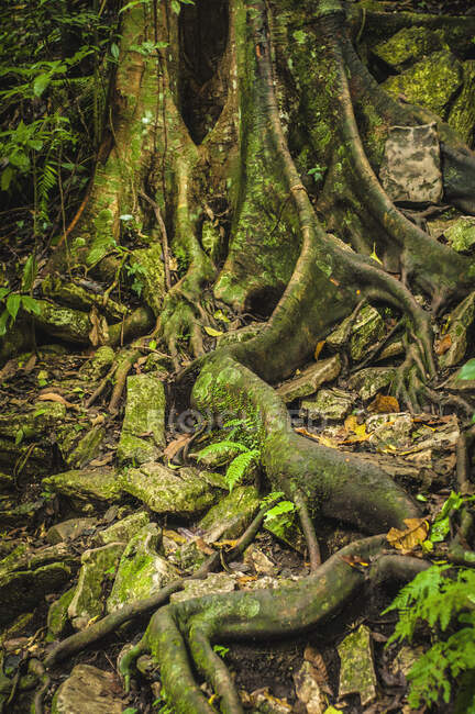 Old tree with big roots covered with moss and plants in green jungle forest — Stock Photo