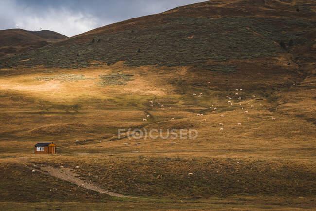 Calme paysage naturel d'automne avec maison rurale solitaire et le bétail de pâturage sur couvert d'herbe jaune vallée de montagne par temps nuageux — Photo de stock