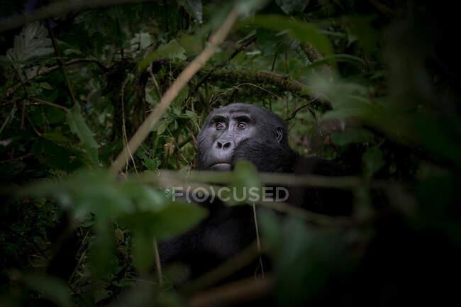 Gorilla nero tra la natura — Foto stock