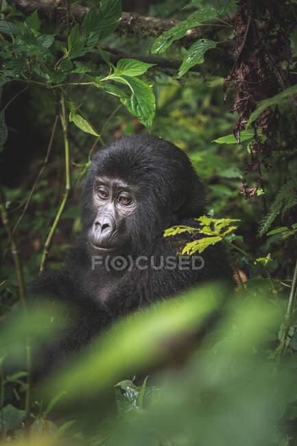 Schwarzer Gorilla inmitten der Natur — Stockfoto