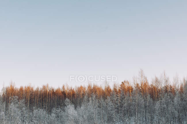 From above quiet winter landscape with tranquil forest lightened with sunlight under clear sky in Swedish Lapland — Stock Photo
