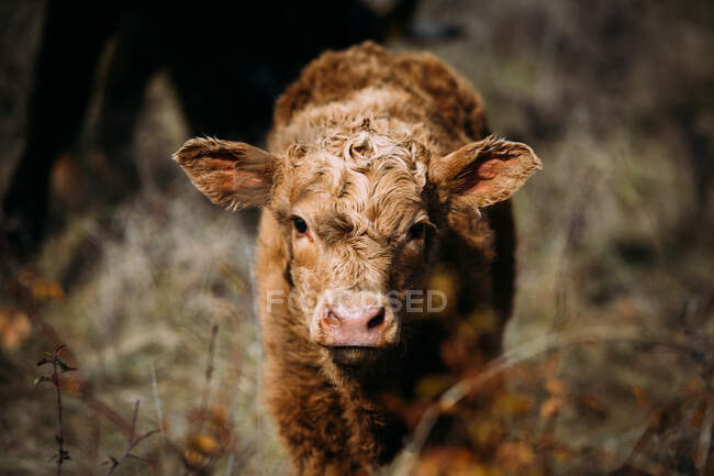 Brown cow calf looking at camera while standing on a meadow — Stock Photo