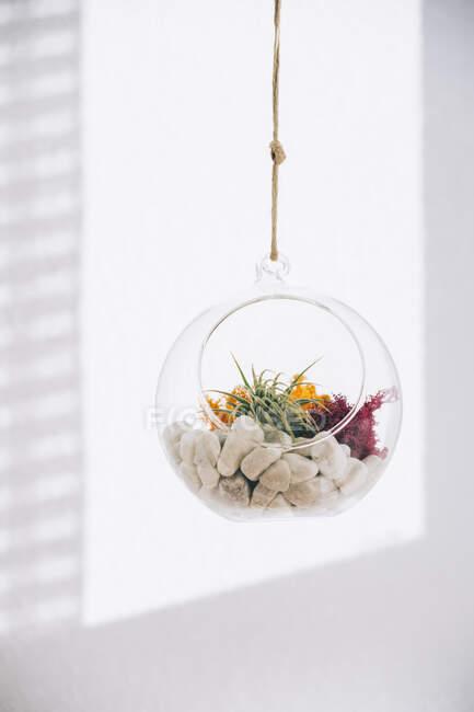 Suculentas plantas decorativas coloridas en el interior colgando terrario de vidrio transparente esférico en sala de luz - foto de stock