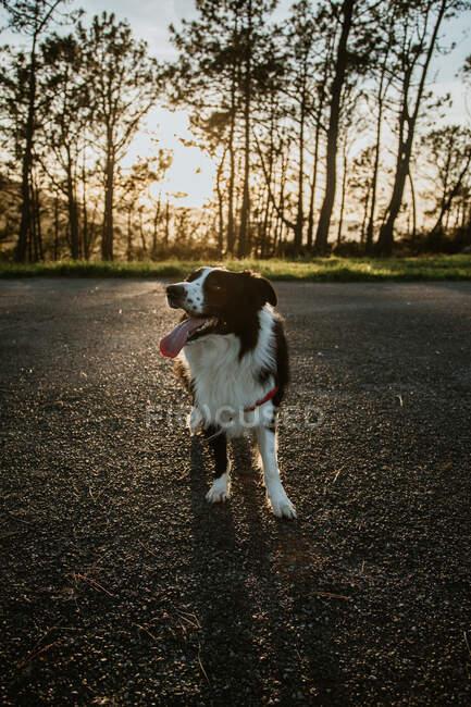 Dall'alto soffice amichevole di razza pura Border Collie cane seduto su strada asfaltata durante la passeggiata nel giorno estivo — Foto stock