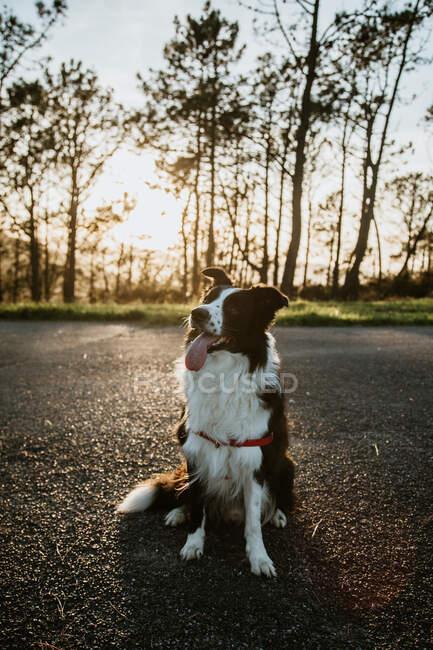 Par-dessus moelleux amical Purered Border Collie chien assis sur la route asphaltée pendant la promenade dans la journée d'été — Photo de stock