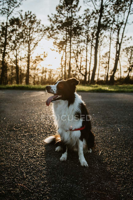 From above fluffy friendly purebred Border Collie dog sitting on asphalt road during walk in summer day — Stock Photo