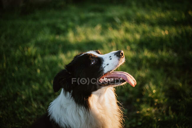 Cheerful pedigreed Border Collie dog with tongue out looking at camera while sitting on grass in park — Stock Photo