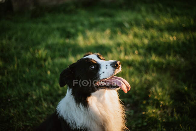 From above cheerful pedigreed Border Collie dog with tongue out looking at camera while sitting on grass in park — Stock Photo
