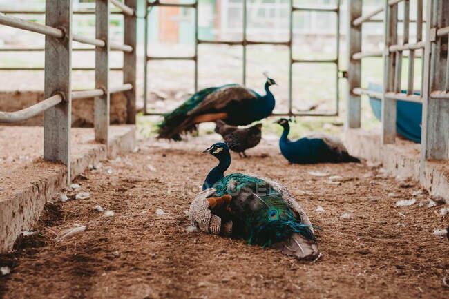 Pavos reales tranquilos con plumas brillantes de colores sentados en el suelo en recinto con valla de metal en el zoológico - foto de stock