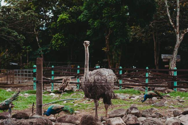 Tranquillo grande struzzo selvatico nello zoo — Foto stock