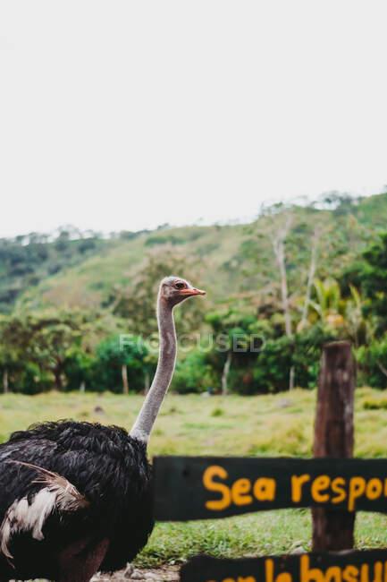 Friedliche wilde große Strauße im Zoo — Stockfoto