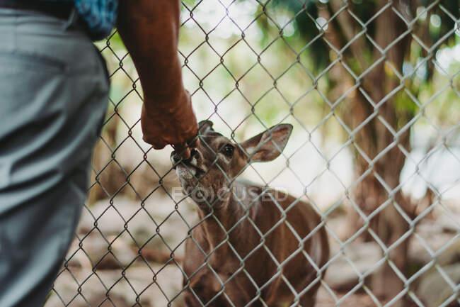 Безликий человек, протягивающий руку, чтобы понюхать милых оленей через металлический забор ограждения в зоопарке — стоковое фото