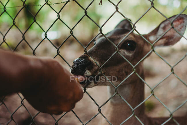 Curious deer in enclosure sniffing hand of anonymous man in zoo — Stock Photo