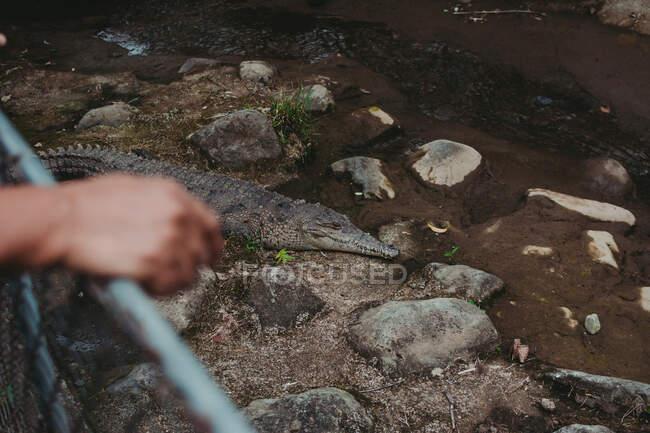 De arriba del cocodrilo salvaje sobre la costa rocosa del río en el recinto grande del zoológico - foto de stock