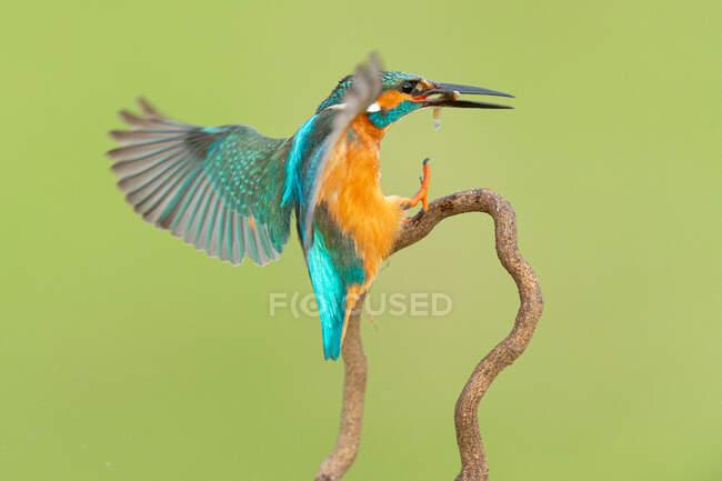 Colorful Kingfisher with long black beak — Stock Photo