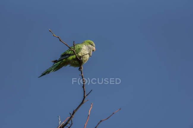 De baixo adorável pássaro Aratinga verde sentado no ramo de árvore fina sob o céu azul — Fotografia de Stock