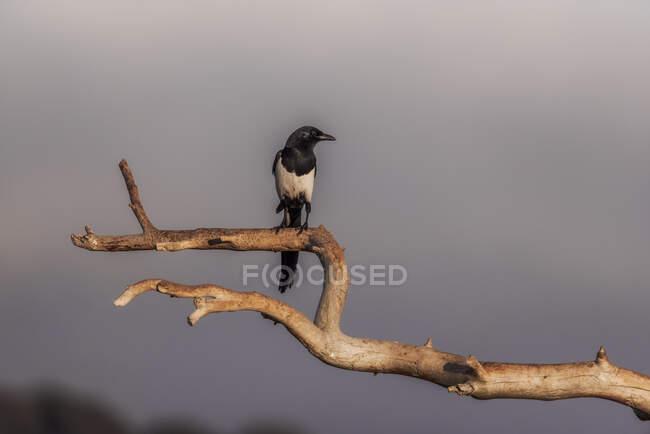 Wild black bird perched on tree — Stock Photo