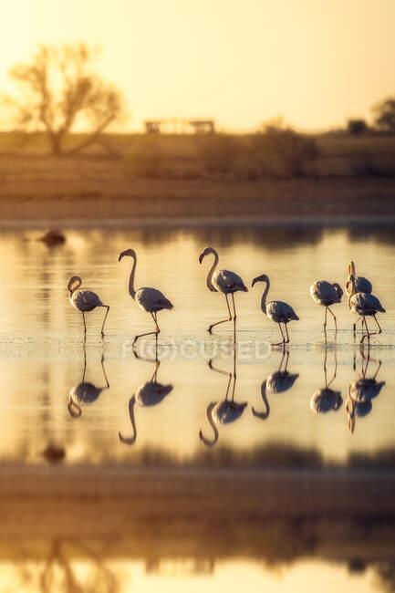 Стая изящных фламинго, идущих по озеру на закате — стоковое фото
