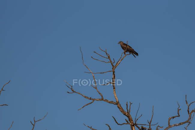 From below blackbird sitting on dry tree branch under blue sky in summer day — Stock Photo