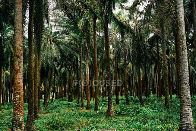 Malerische Palmenlandschaft im tropischen Costa Rica im Sommer — Stockfoto