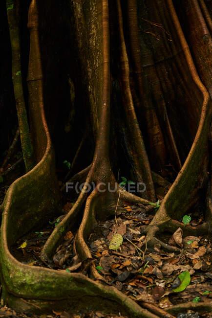Texture abstraite du tronc géant de l'arbre dans les jungles au Costa Rica — Photo de stock