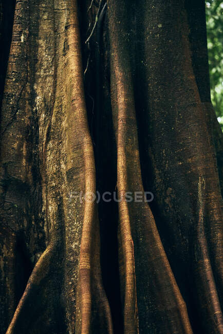 Abstract texture of giant trunk of tree in jungles in Costa Rica — Stock Photo