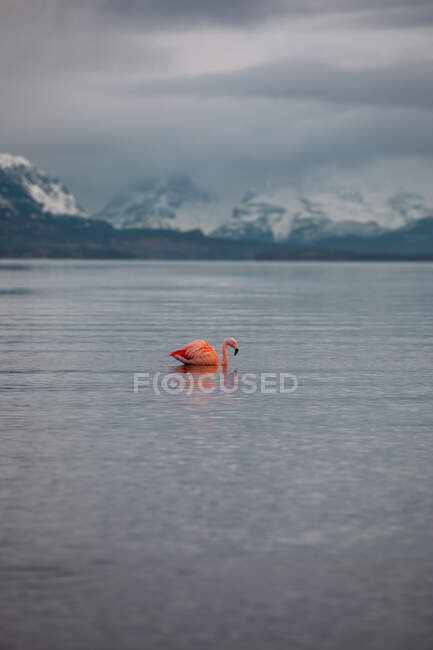 Side view of lonely vivid pink wild bird swimming on pond against misty snowy highland under gray cloudy sky — Stock Photo