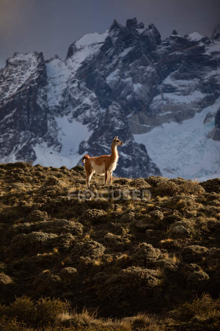 Tranquil lama in sunbeams against snowy mountain ridge — Stock Photo