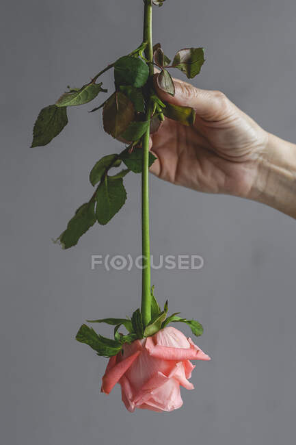 Unrecognizable cropped female professional florist hands making bouquets of pink roses on grey background — Stock Photo