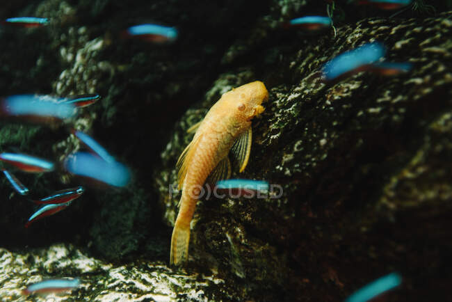From above of orange fish near rough rock on pebble bottom in aquarium — Stock Photo