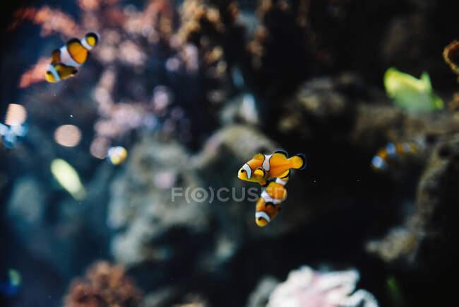 Дикие полосатые белые и оранжевые загримированные рыбы среди разноцветных кораллов под водой в океане на размытом фоне — стоковое фото