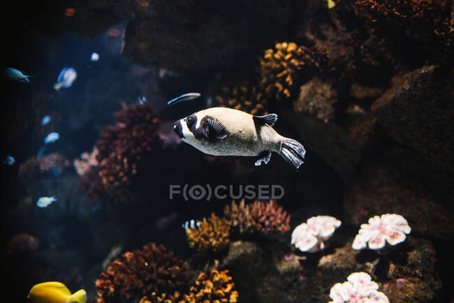 Colorful small archerfish with black stripes underwater in aquarium on blurred background — Stock Photo