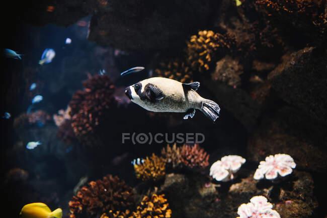 Красочные маленькие лучники с черными полосками под водой в аквариуме на размытом фоне — стоковое фото