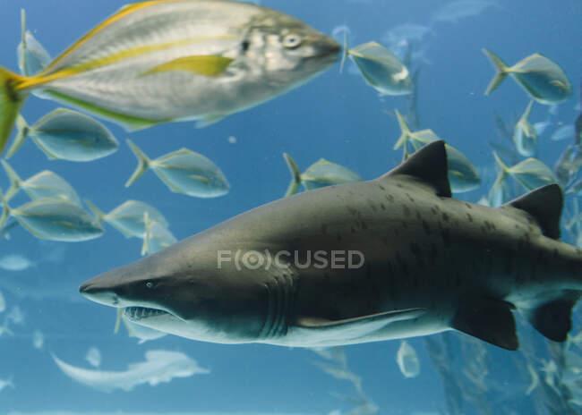Большая чёрная акула среди высоких зелёных моржей и флоксов маленьких рыбок под голубой водой — стоковое фото