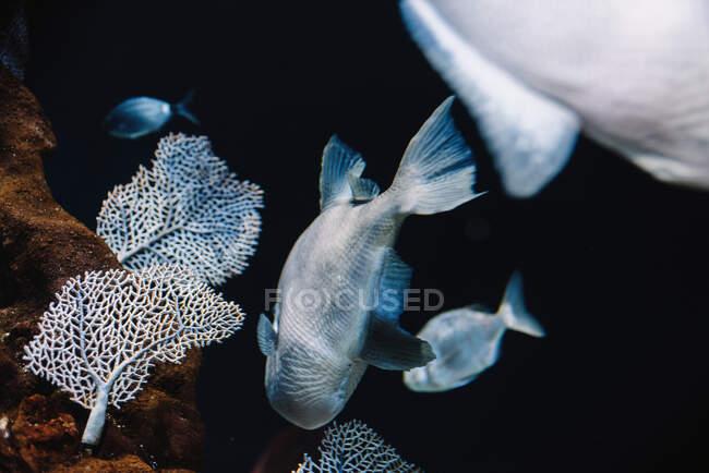 Большая рыба с серой гаммой под морской водой на темном размытом фоне в океанариуме — стоковое фото