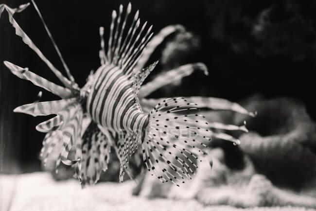 Desde arriba de pez león de mar rayado blanco y negro cerca del fondo del acuario sobre fondo borroso - foto de stock
