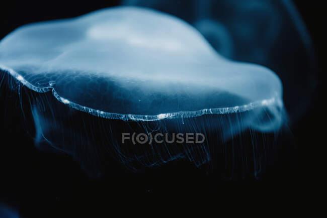 Medusas azules transparentes tranquilas bajo el agua turquesa del mar sobre fondo borroso - foto de stock