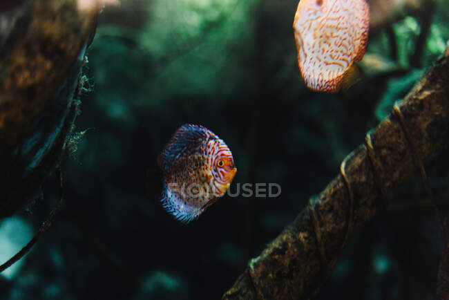 Colorful small discus fish under sea water among tropical sea plants on blurred background — Stock Photo