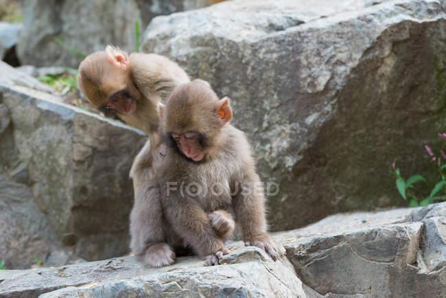 Monos lindos sentados en piedra en el estanque - foto de stock