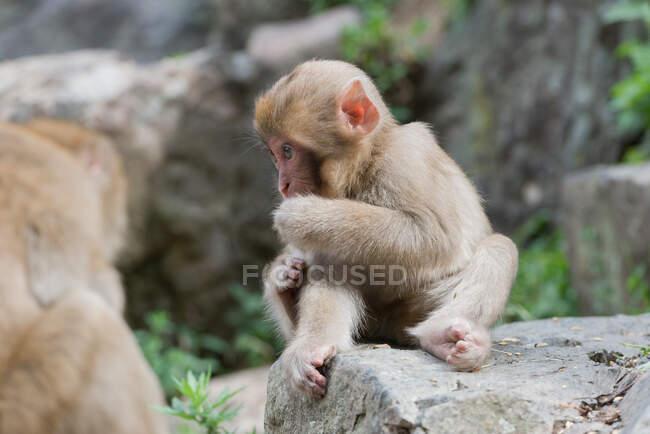Niedlicher Affe sitzt auf Stein im Teich — Stockfoto