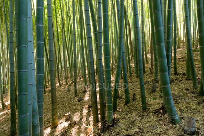 Grand tronc vert de bambous dans la forêt et l'herbe sans fin au Japon — Photo de stock