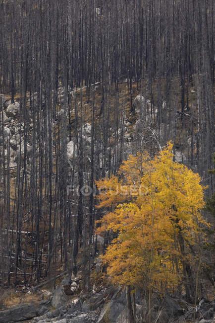Arbusto amarelo brilhante entre troncos de árvores de coníferas altas na encosta da montanha com grama seca e neve — Fotografia de Stock