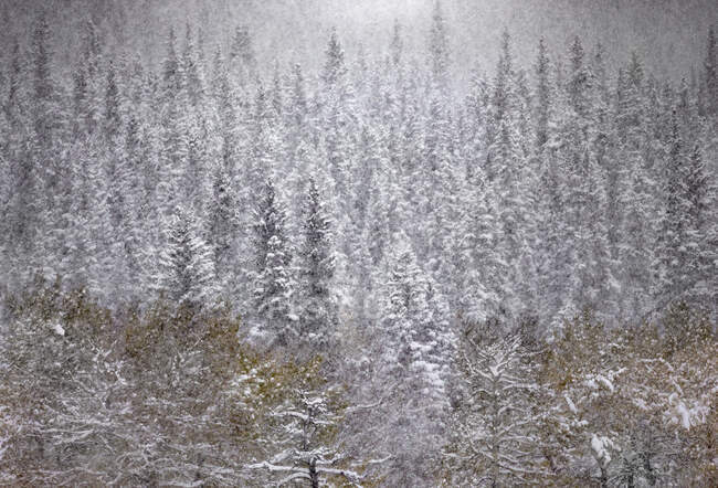From above tranquil Canadian winter scenery with snowfall in coniferous forest — Stock Photo