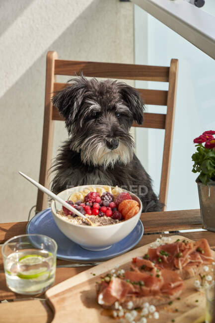 From above of ceramic bowl with tasty morning porridge with fresh fruits and berries and big grey dog sitting on chair at table — Stock Photo