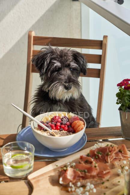 Dall'alto di ciotola di ceramica con porridge del mattino saporito con frutta fresca e bacche e cane grigio grande seduto su sedia a tavola — Foto stock