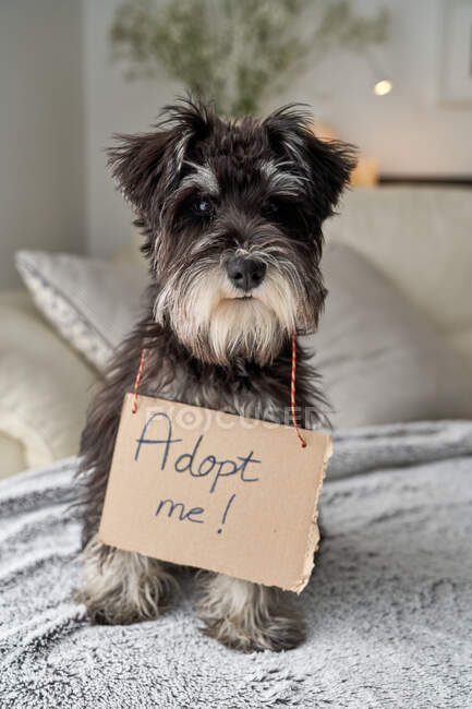 From above focused little pedigreed Miniature Schnauzer dog looking at camera while sitting with cardboard sign on neck adopt me — Stock Photo