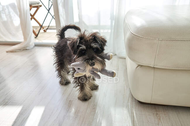Von oben kleiner reinrassiger Zwergschnauzer-Hund mit Stofftier im Maul, der auf dem Fußboden im Zimmer steht — Stockfoto